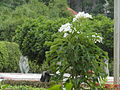 Dalia flowers white.JPG