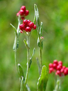 פרח דם-מכבים אדום, סמלו של יום הזיכרון לחללי מערכות ישראל ונפגעי פעולות האיבה ויקיפדיה אינצקלופדיה חופשית