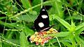 Danaid eggfly Male.jpg