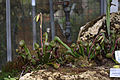 Darlingtonia californica GotBot 2015 004.jpg