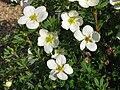 Dasiphora fruticosa 'Mckay's White' 04.jpg