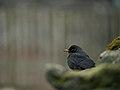 Day 4- A blackbird in Grasmere (8428655968).jpg