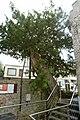 De Caesarsboom te Lo-Reninge - 369447 - onroerenderfgoed.jpg