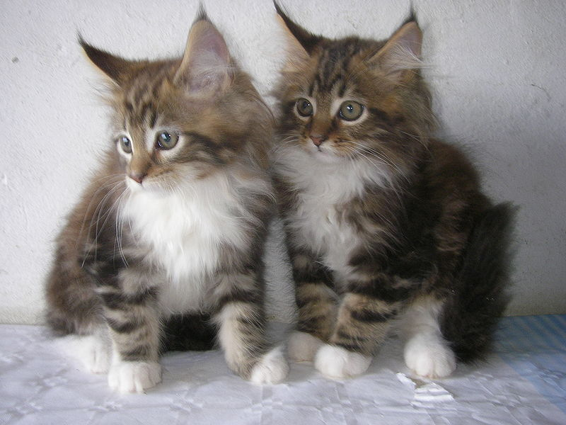 Yuma and Sam, Maine Coon kittens from De Campos, Asturias, Spain