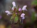 Dead nettle flower (13199826634).jpg