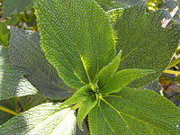 Debregeasialongifolia