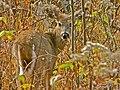 Deer - panoramio - Lucas Migliorelli.jpg