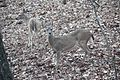 Deer in Red Top Mountain State Park, March 2017.jpg