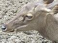 Deer in Zoo Negara Malaysia (16).jpg