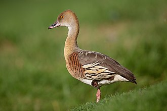 Plumed whistling duck - New South Wales, Australia