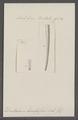 Dentalium brevifissum - - Print - Iconographia Zoologica - Special Collections University of Amsterdam - UBAINV0274 081 10 0016.tif