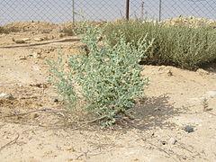 240px desert bush 1