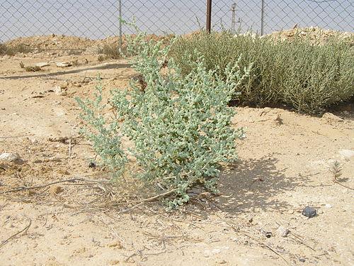 500px desert bush 1