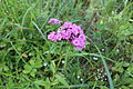 Dianthus barbatus 01.JPG