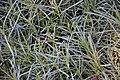 Dianthus caryophyllus in Jardin botanique de la Charme.jpg