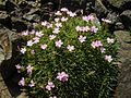 Dianthus erinaceus 4.JPG