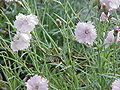 Dianthus gratianopolitanus1.jpg