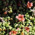 Diapensia lapponica (fruits).JPG