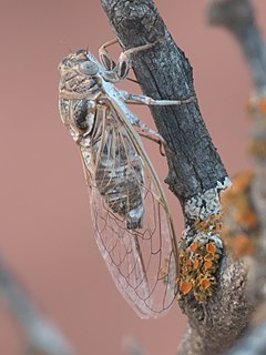 <i>Diceroprocta eugraphica</i> Species of true bug