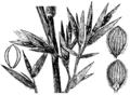 Dichanthelium oligosanthes (as Panicum scoparium S Watson ex Nash, non Lam) HC-1950.png