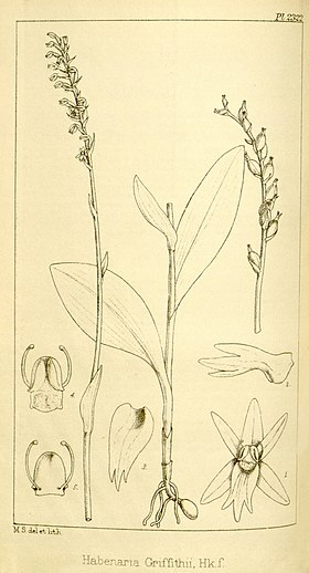 Diphylax griffithii (as Habenaria griffithii) - Hooker's Icones Plantarum vol. 24 pl. 2322 (1896).jpg