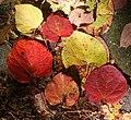 Disanthus cercidifolius (leaf s3).jpg
