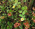 Dodonaea viscosa & Sida fallax (4798294236).jpg