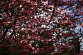 Dogwood-tree-bokeh-sky - West Virginia - ForestWander.jpg