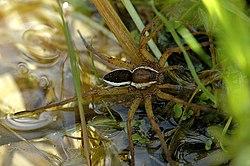 Une dolomède des marais; mâle, sur l'eau d'un marais, en Belgique