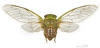 Dorisiana bicolor MHNT, Montsinéry, Guyane dos vol 2.jpg