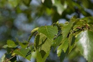 Birch - Birch leaves