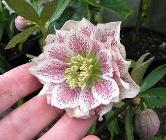 Double white hellebore with pink spotting.JPG