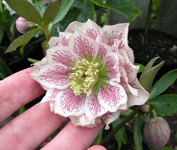 File:Double white hellebore with pink spotting.JPG