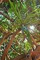 Dracaena cambodiana-Me Cung Cave (3).jpg