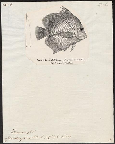 File:Drepane punctata - 1700-1880 - Print - Iconographia Zoologica - Special Collections University of Amsterdam - UBA01 IZ13100289.tif