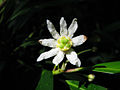 Drimys winteri (flower).jpg