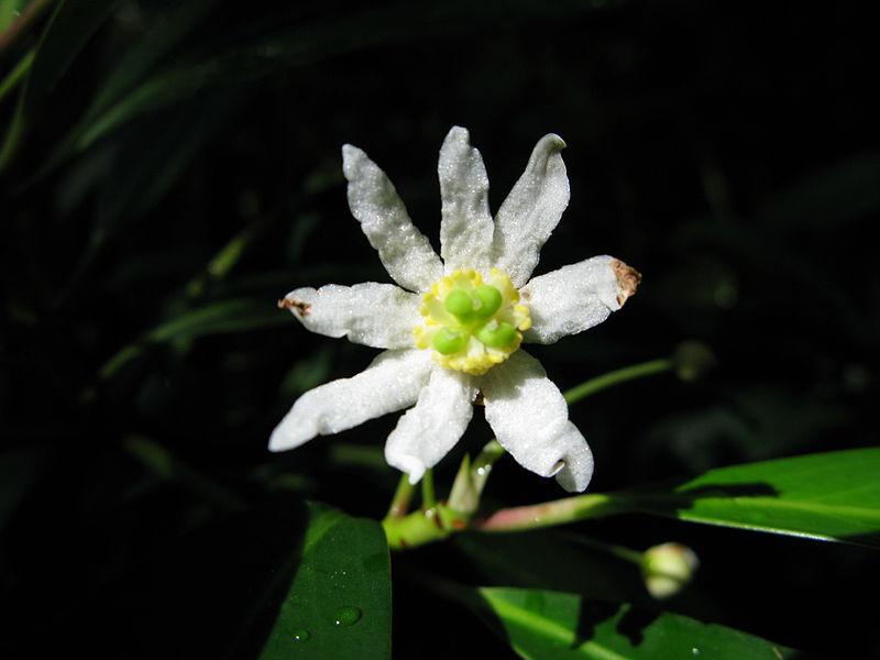 détail de la fleur du cannelier de magellan