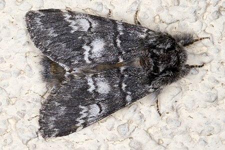 Drymonia ruficornis 04(js), Lodz (Poland).jpg