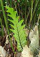 Drynaria quercifolia kz3.jpg
