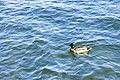 Duck (27479070987).jpg