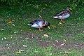 Ducks (39238218845).jpg