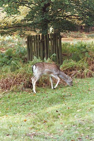 Dunham Massey - Dunham Massey Deer Park