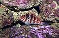 Dwarf Hawkfish Cirrhitichthys falco.jpg
