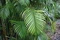 Dypsis lutescens 12zz.jpg