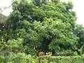 E9211-Nadi-mango-tree.jpg