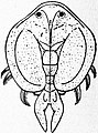 EB1911 Entomostraca Fig. 1.—Dolops ranarum.jpg