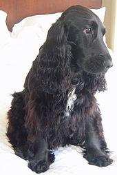 My Dog My Best Friend English Cocker Spaniel Dog Breed