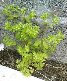 Radium Weed