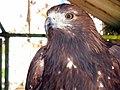 Eagle عقاب 11.jpg