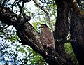 Eagle in Nagarhole forest.jpg